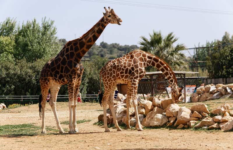 Жирафы в Афинском зоопарке