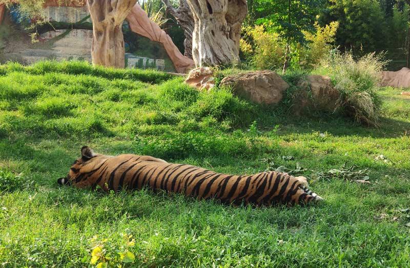Тигры в зоопарке Афин