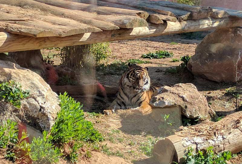 Тигр в Афинах