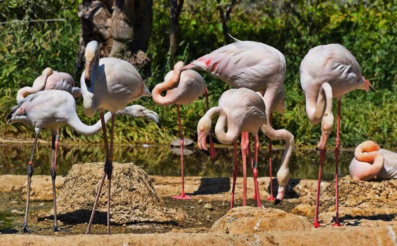 Розовые фламинго в Афинском зоопарке
